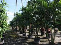 Aussuchen der Palmen vor Ort